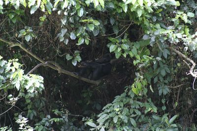 Bonobo male resting on a branch
