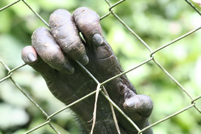 Hand of a Bonobo male