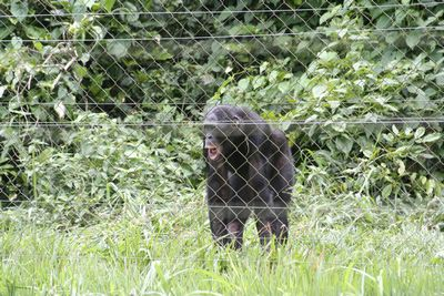 Bonobo male behind fence