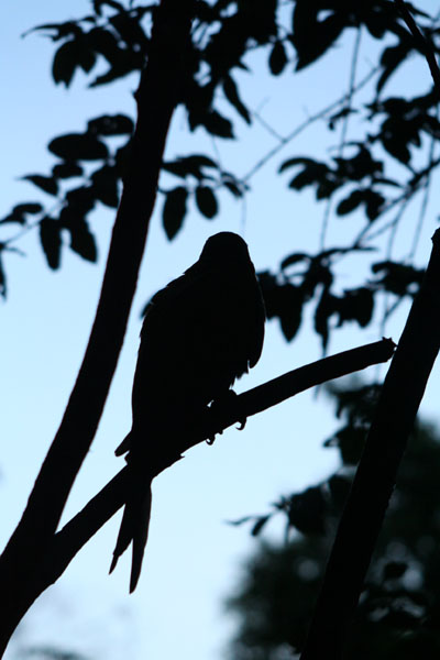 Parrot in the evening