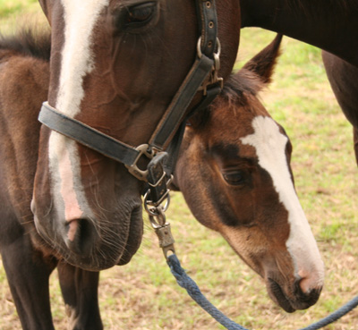 Filly Hearty and mother Julia