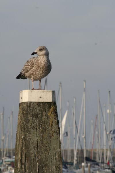 Seagull on a post in the marina of the holiday centre