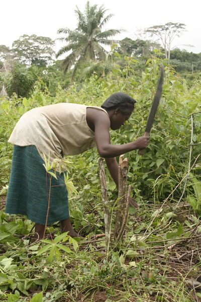 Production of maniok seedlings in Congo
