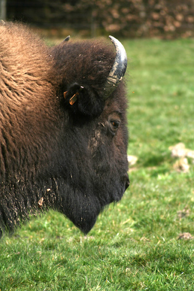 Bison in close-up (Belgium - Ardennes)