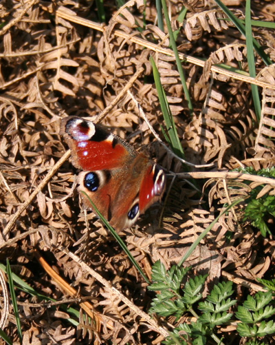 Butterfly (Belgium - Ardennes)