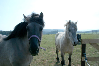 Horses in a meadow (Belgium - Ardennes)