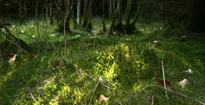 Moss in the undergrowth (Belgium - Ardennes)