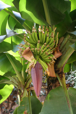 Banana tree in Niger