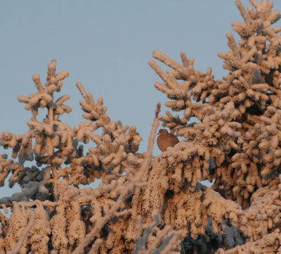 Dove in snow covered pines
