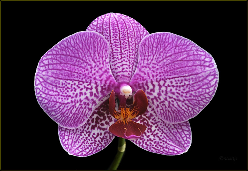 Vanda 8 additionally Rhorchlit1 in addition Vanda 24 besides Paphiopedilum concolor besides Orchideen Blumen Lila Gelb Geast. on orchid flowers