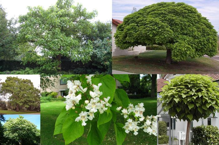 catalpa bignonioides plants et cetera pinterest. Black Bedroom Furniture Sets. Home Design Ideas