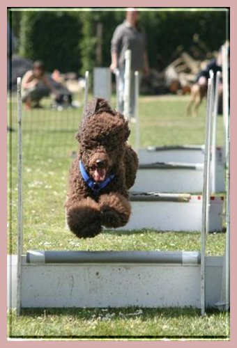 Le caniche et le Fly-Ball Florian%20des%20Petits%20Brugeois%20-agility-Flyball